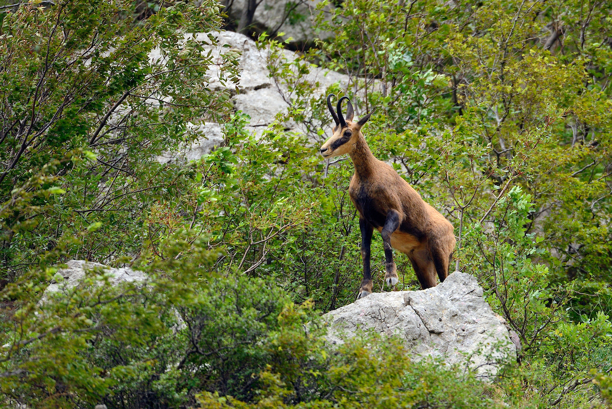 The Balkan chamois was reintroduced into the Croatian Velebit around 30 years ago. Across the Balkans, the total population is now thought to number less than 1000 animals.