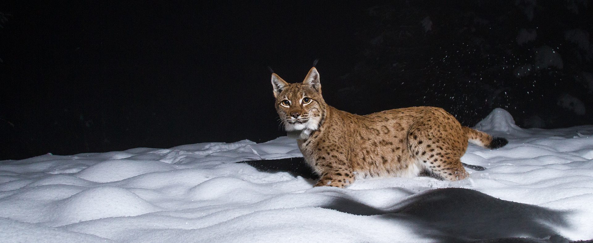 The Living on the Edge project came about due to the scarcity of brown bears, wolves and Eurasian lynx in Austria.