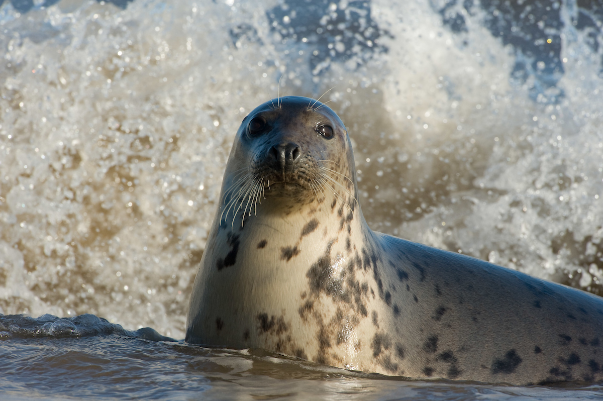 Most of the funding received from the German Postcode Lottery will be used to mitigate human-grey seal conflict.