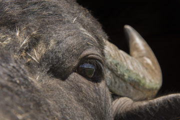 The water buffalo is one of nature'a great engineers, creating new habitat with its feeding, trampling and wallowing.