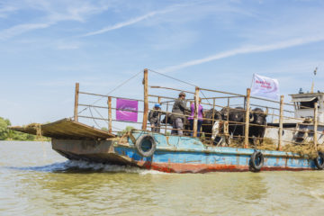 The water buffalo herd is transported to Ermakov Island by barge.