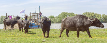 The water buffalo are released onto Ermakov Island and begin to explore their new home.