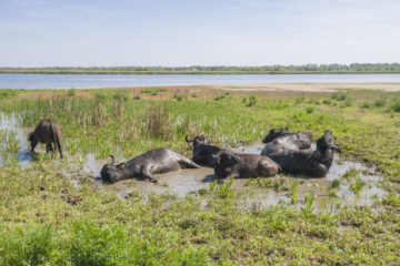 Time to cool off: the newly released water buffalo herd enjoy a revitalising mud bath.