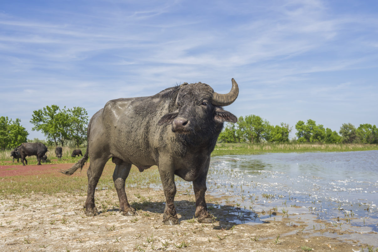 A water buffalo becomes acquainted with its new home on Ermakov Island.