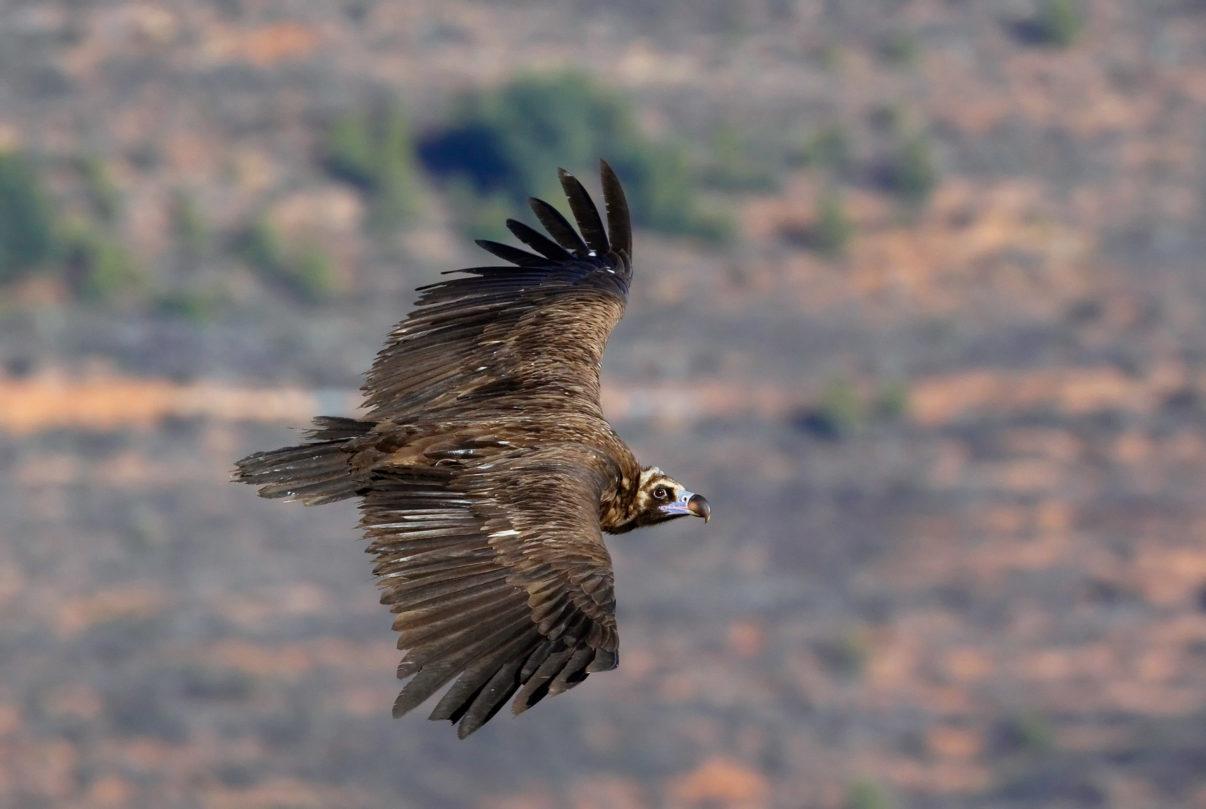 Black Vulture (Aegypius monachus) Spain Decemberr 2008