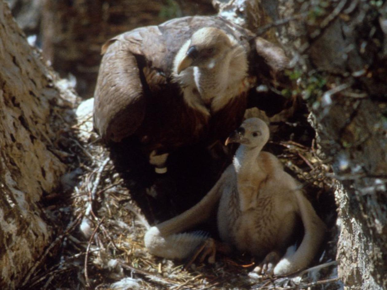 Griffon vulture chick.