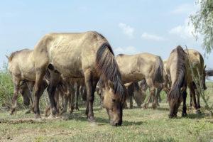 Konik horses roam free in Danube Delta - Rewilding Europe