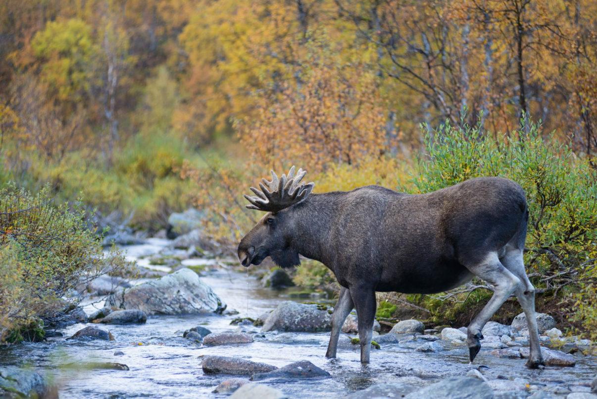 European elk (Alces alces) male crossing a river. Rapadalen valley, Sarek National Park, World Heritage Laponia, Swedish Lapland, Sweden.