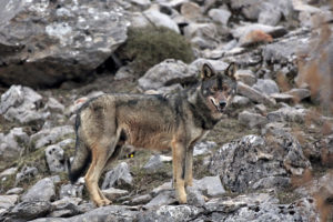 Iberian wolf in the wild