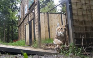 Release of the lynx named Goru from the enclosure in Slovenia.
