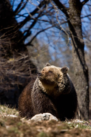 The collaboration with Sensing Clues will hopefully lead to the more accurate prediction of Marsican brown bear movement.