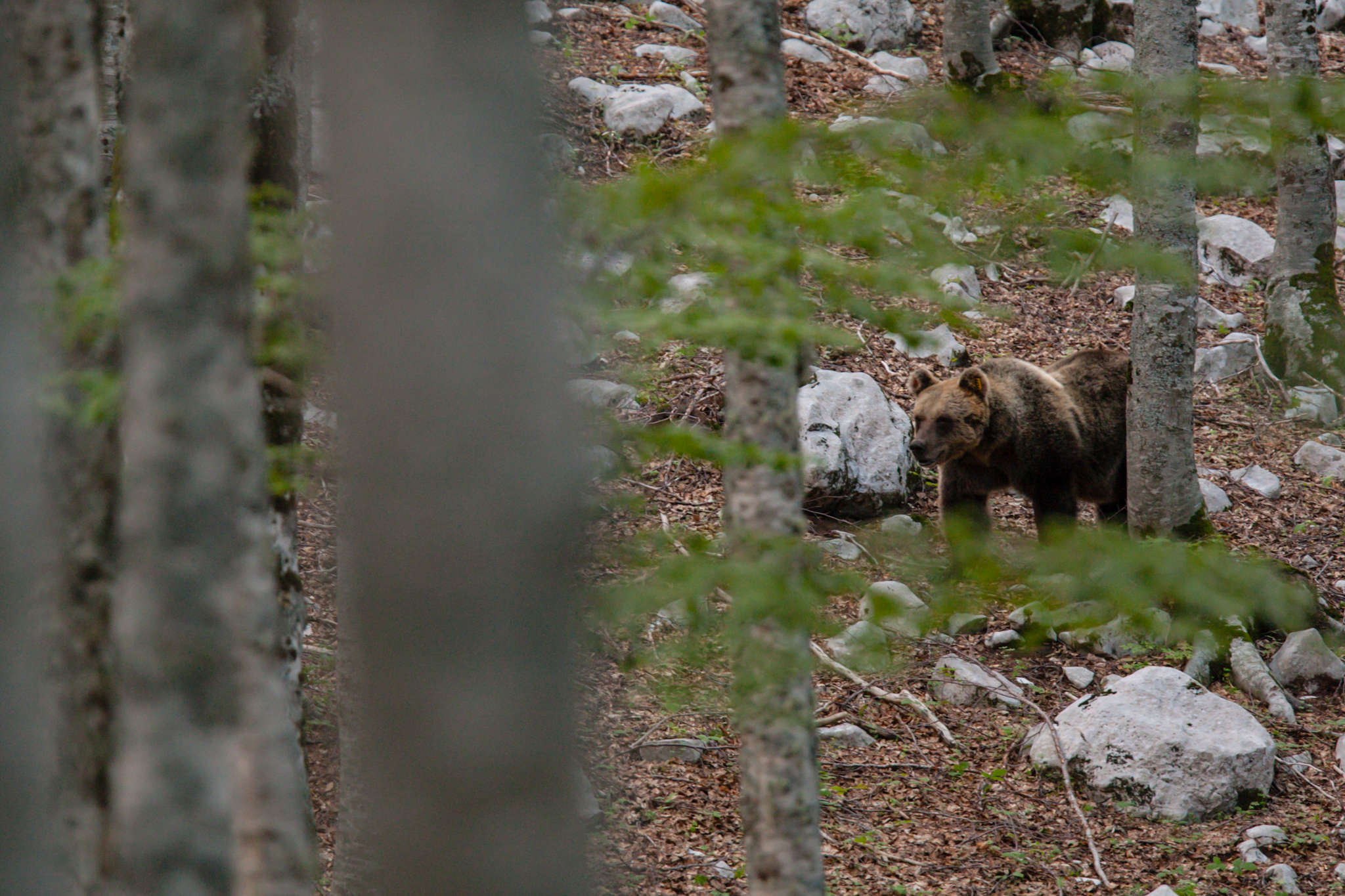 The Marsican brown bear population of the Central Apennines currently stands at around 60 (including newborn animals).