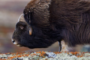 Muskox, Ovibos moschatus, in autumn colours in mountain landscape in Dovrefjell National Park, Norway