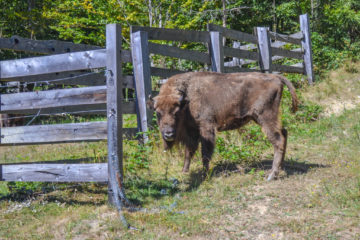 A newly arrived female bison in the acclimatisation enclosure.