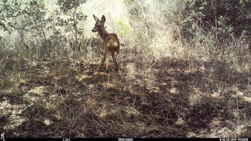 Roe deer on camera trap Western Iberia