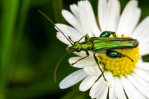 Oedemera nobilis (thick legged flower beetle) on oxeye daisy at Wicken Fen National Nature Reserve, Cambridgeshire.