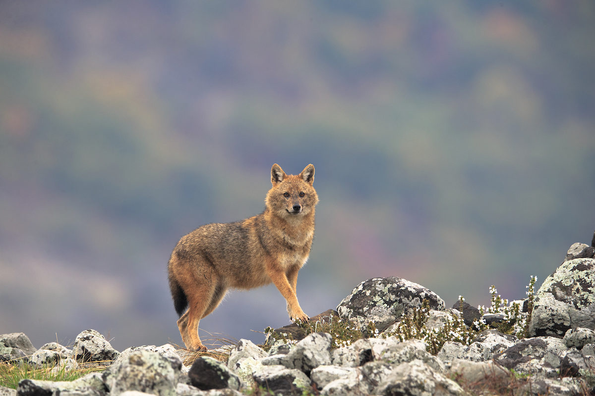 Golden jackal in the Rhodope Mounatains, Bulgaria
