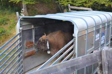 European bison fitted with GPS collar ready for release