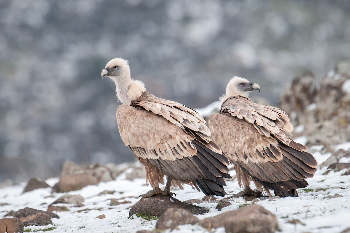Griffon vultures in the Rhodope Mountains.