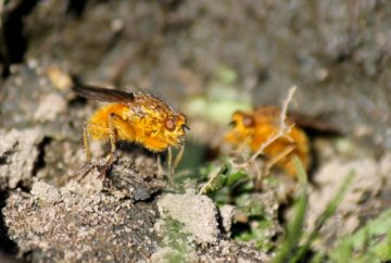 Dung flies on horse dung