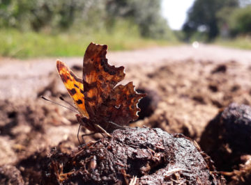 Aurelia butterfly on horse dung