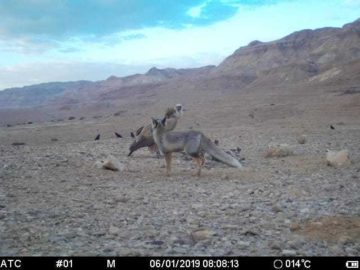 Camera trap image griffon vulture and fox sharing prey