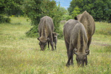 Bison calf staying close to its mother, Rhodope Mountains