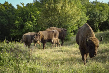 Grazing bison in the Rhodope Mountains