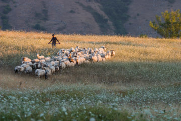 Abruzzo shepherd with his flock crossing a summer meadow in evening light. Marsica, Central Apennines. Abruzzo, Italy. August 2005