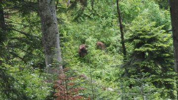 Bison calf and its mother in the forest of the Southern Carpathians rewilding area