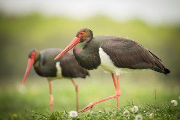 Black stork is one of the flagship species of Grote Netewoud.