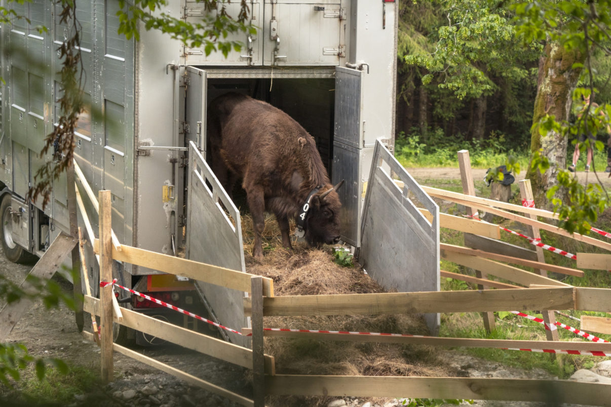 European bison being released in the Soutern Carpathians rewilding area