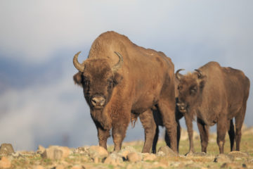 European bison in the Rhodope Mountains, Bulgaria
