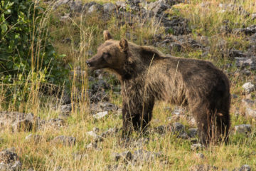 Marsican brown bear in the Italian Central Apennines