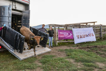 Tauros release Velebit Mountains