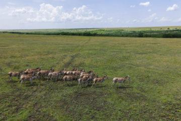 TARUTINO STEPPE, ODESSA OBLAST, UKRAINE - JUNE 18-19, 2020: Rewilding Ukraine released herd of Transcaspian wild ass (Equus hemionus kulan) for acclimatization in quarantine zone
