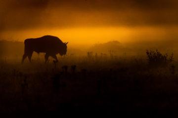 Bison in De Maashorst, The Netherlands