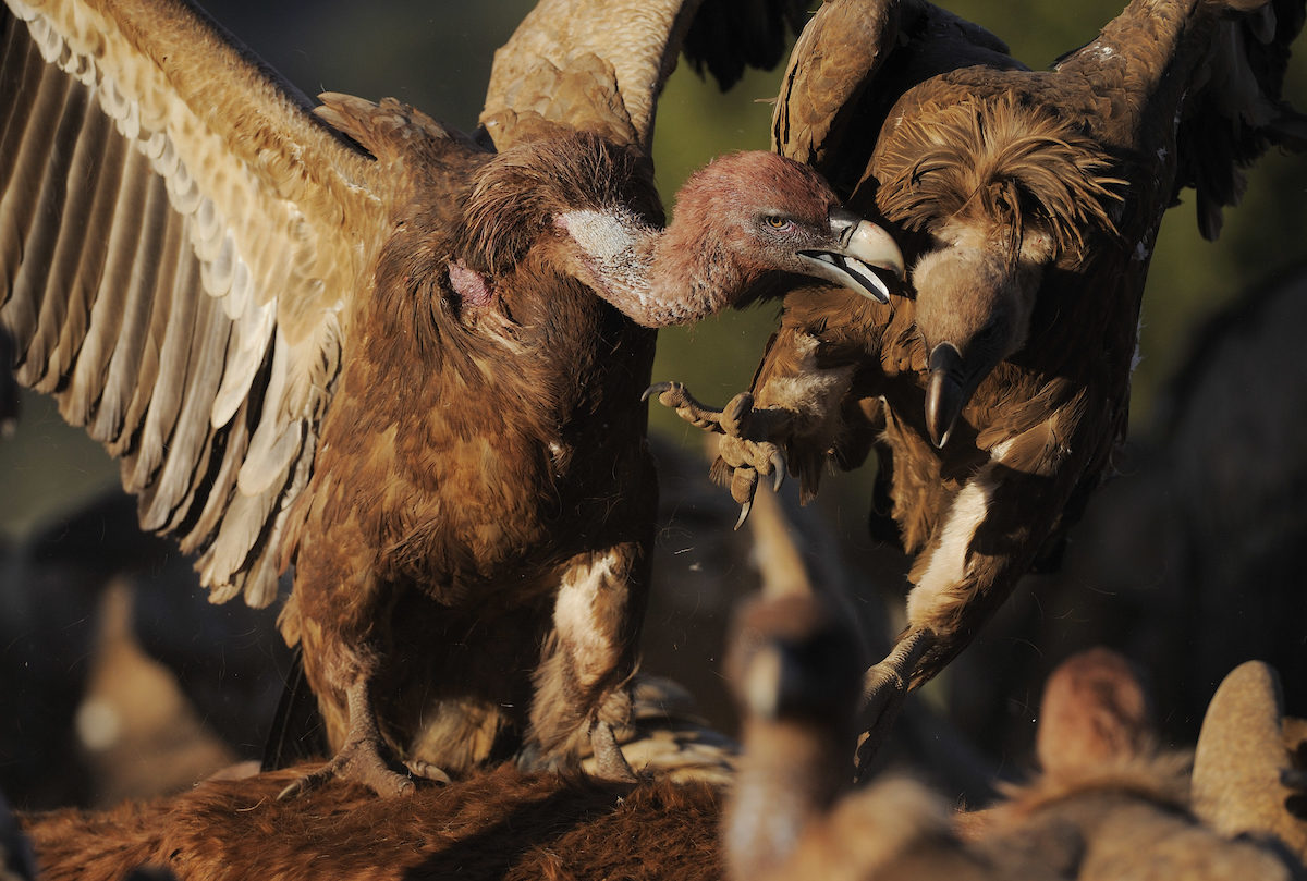 Griffon vultures fighting over a carcass