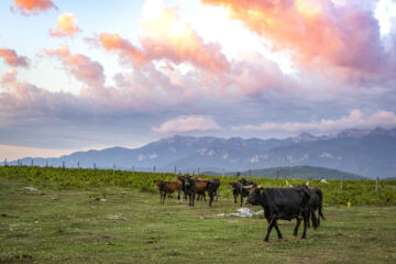 Tauros release on the Lika Plains, Velebit Mountains