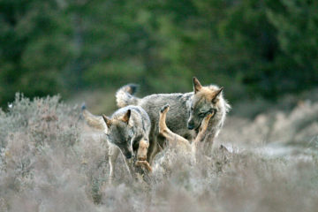 Iberian wolves in the Greater Côa Valley