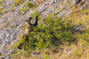 Marsican brown bear (Ursus arctos marsicanus) feeding on buckthorn (Rhamnus alpina) berries on a mountain slope in summer. Central Apennines