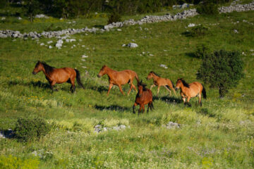 Wild Bosnian mountain horses, Equus caballus, Paklenica National Park, Velebit Nature Park, Rewilding Europe rewilding area, Velebit mountains, Croatia