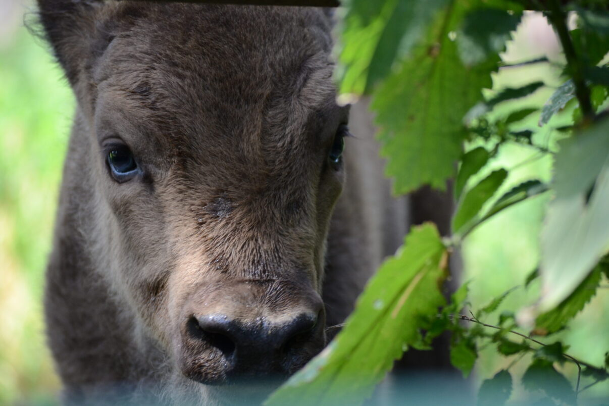 Young bison in Bratislava Zoo