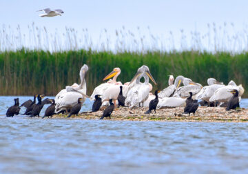 Dalmatian pelicans with other birds in Ukraine