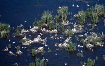 Pelican colony in Romanian Delta