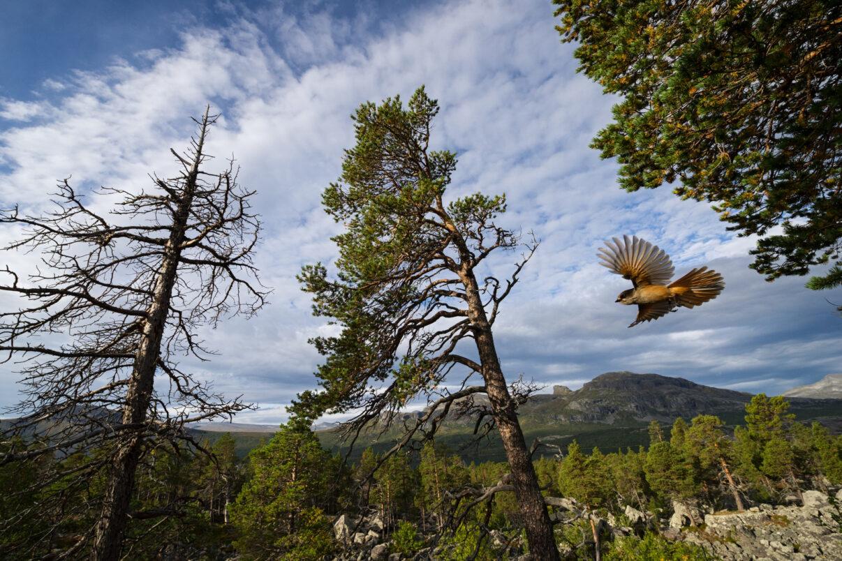 Siberian jay (Perisoreus infaustus). Stora Sjöfallet National Park. World Heritage Laponia, Swedish Lapland, Sweden.