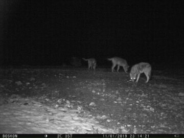 camera trap image rhodope mountains wolves