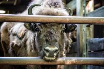 European bison prior to transport