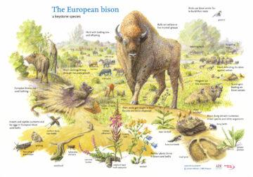 European bison drawing Jeroen Helmer