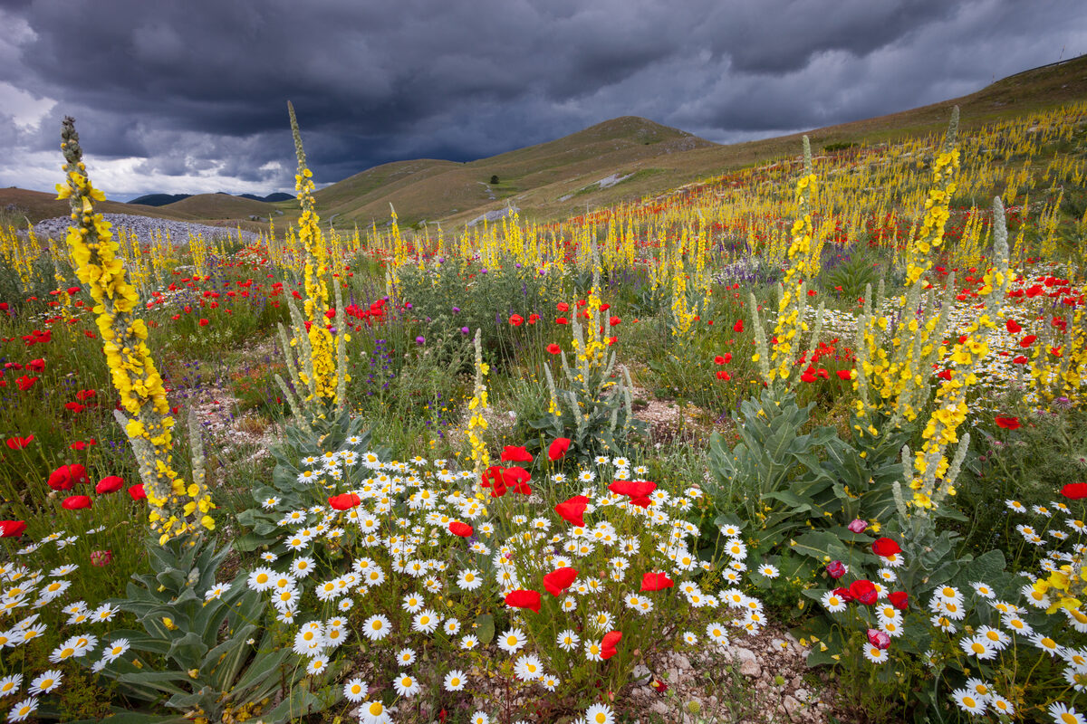Poppies, daisies and mullein flowers colouring barren mountain slopes in summer. Central Apennines